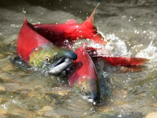 Salmon Spawning in River