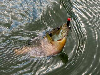 Top bluegill fishing tips on the net learn to catch for Bream fishing bait