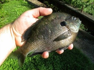 Big Bull Bluegill Held in Hand Weighs Nearly 1 Pound